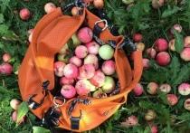 Ажиотаж на Яблочный Спас: урожай собирают, не выезжая из города