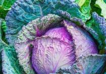Капуста объявлена овощем, спасающим жизнь