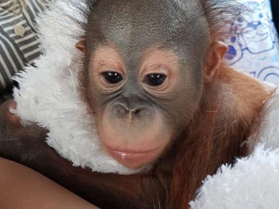 В Москву приехал орангутан, которого чудом спасли человеческие врачи
