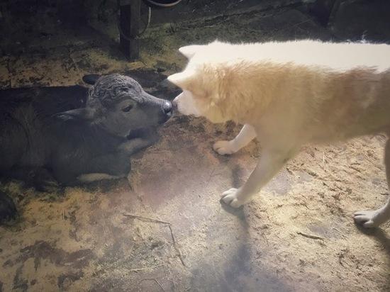 Невероятная дружба: пес Белый взял под охрану новорожденного буйволёнка в зоопарке Калуги
