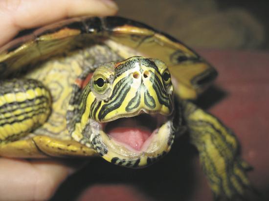 Вся правда о красноухих черепахах