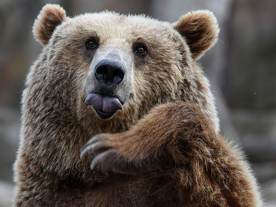 A native of the Amur area met a bear, climbed into a tree and fainted