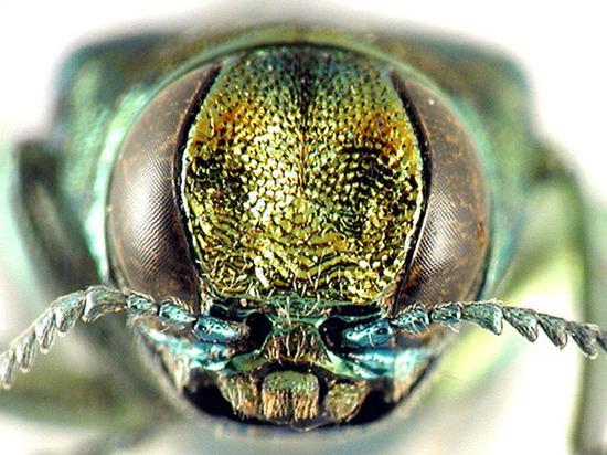 Российские ученые создали карту передвижения жука, способного полностью истребить ясень