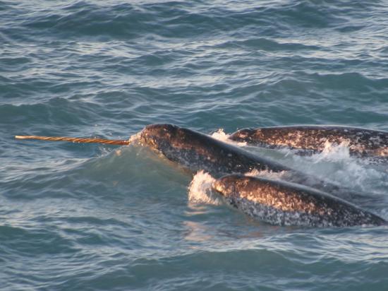 У морских единорогов нашли важное сходство с людьми