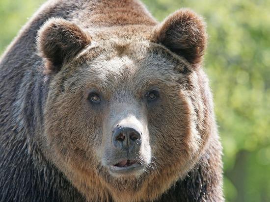 Появилось видео, как руководитель Иркутской области расстрелял спящего медведя