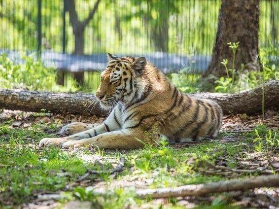 Из-за убийства тигра возбуждено уголовное дело в Приморье