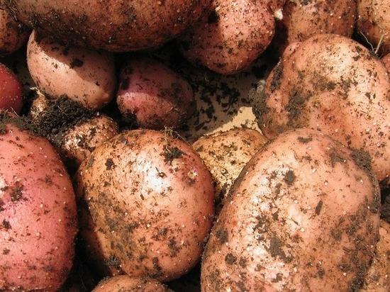 В Бурятии решат, какую картошку выращивать – Антонину, Зою или Скарлет