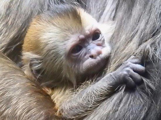 Зоологи рассказали, почему родившемуся в Москве капуцину не выбрали имя