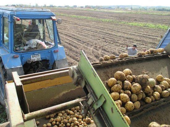 В Серпуховском районе началась уборка картофеля