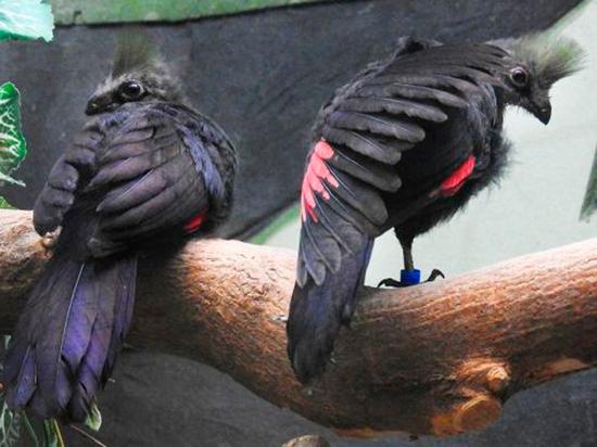 Зоологи раскрыли подробности меню птенцов краснокнижных турако