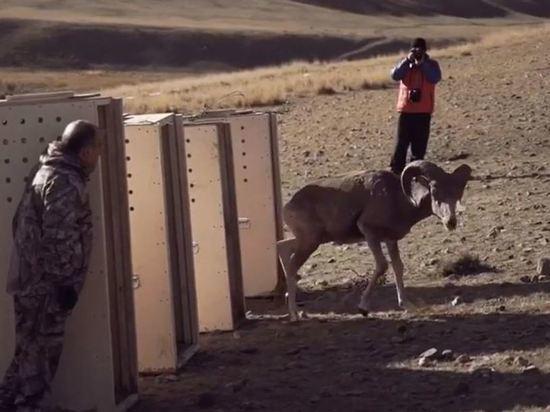 Зоопарк впервые в истории выпустил на волю баранов-аргали