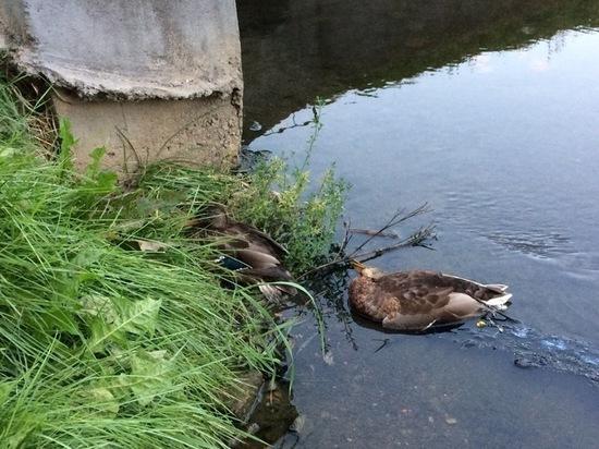 Ни вздохнуть, ни крякнуть: в Ульянке умирают птицы и кашляют люди