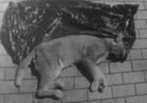 Из московской квартиры, принадлежавшей сотруднику НКВД, выпала экзотическая кошка