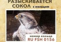 Главная опасность — вороны: как ведутся поиски сбежавшего в Москве сокола Карата