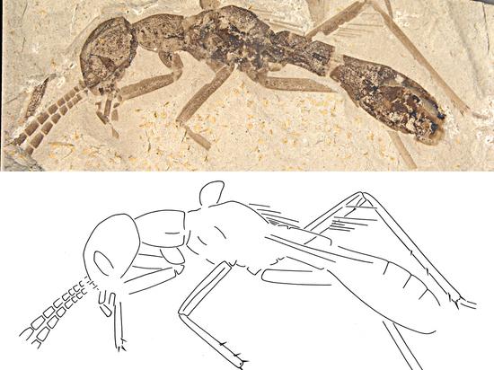 Недавно обнаруженный новый вид древних прусаков удивил полным отсутствием характерных крыльев и большой головой
