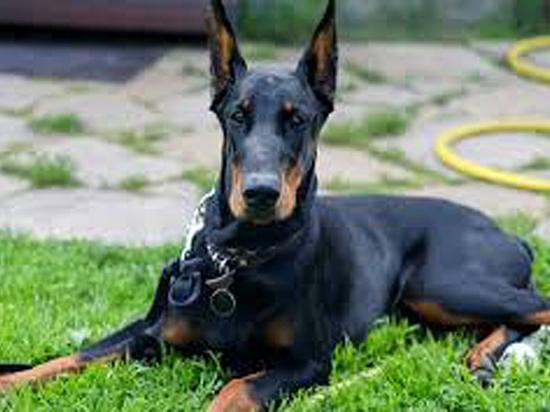 Какие породы собак признаны идеальными компаньонами