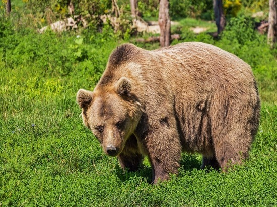 Гаишник расстрелял ранившего женщину медведя в Иркутской области