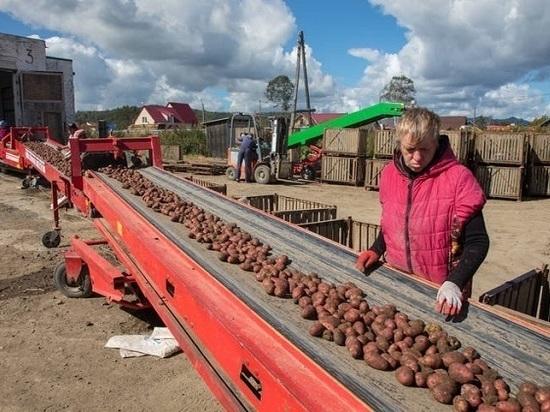 Благодаря хорошему урожаю килограмм картофеля теперь стоит 18 рублей