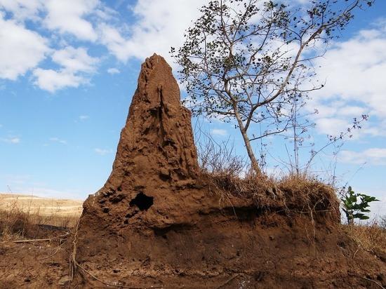 В Японии нашли колонии термитов, отказавшихся от секса