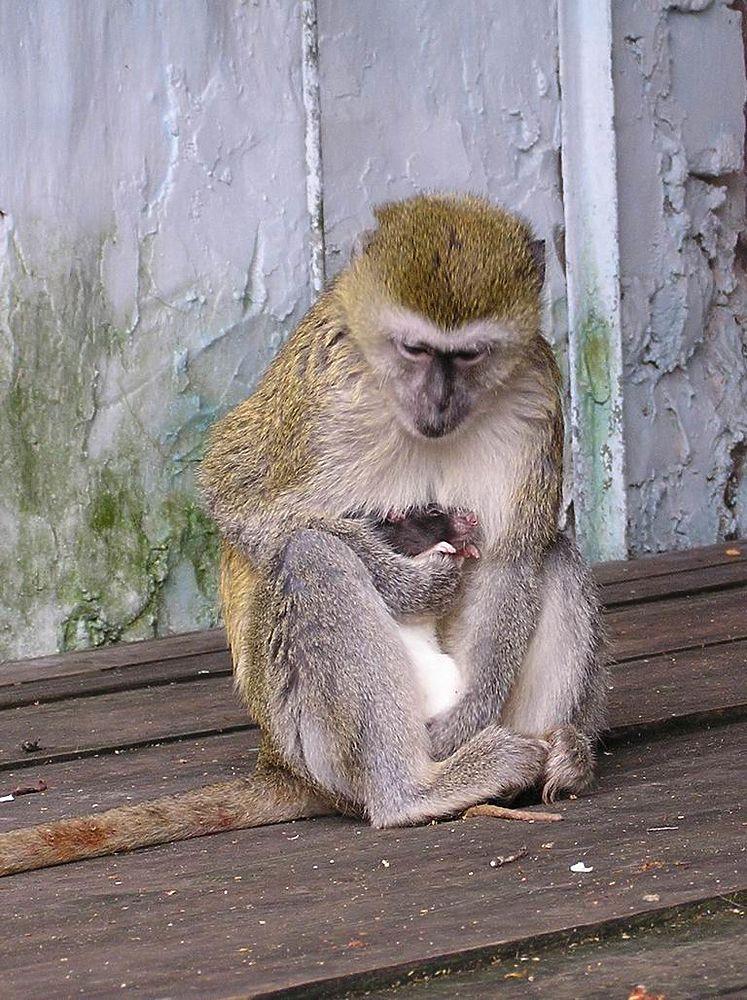 """Обезьяны """"усыновили"""" крысу: трогательная история в Симферопольском зооуголке"""