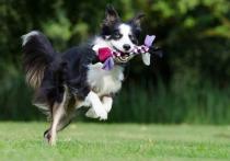 Специалисты, представляющие ряд британских университетов, выдвинули предположение, что собак не следует считать самыми умными животными в каком бы то ни было отношении
