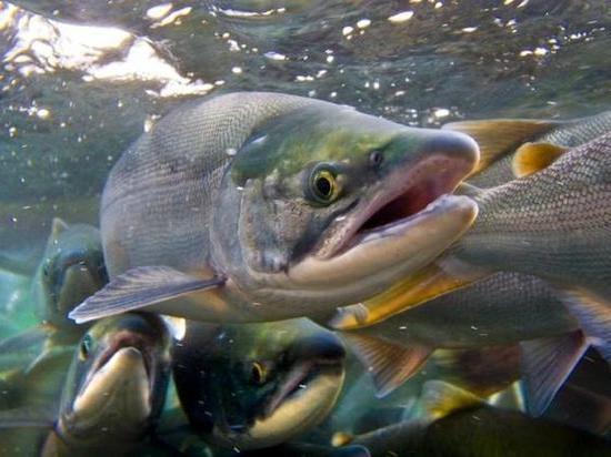 Богатейший улов лосося на Дальнем Востоке сгнил на берегу