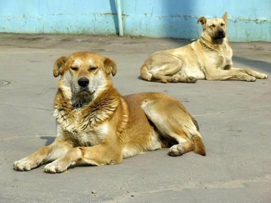 Администрация Новочеркасска сваливает вину за расплодившихся бездомных собак на Ростов