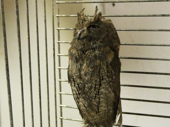 Москвич обнаружил в выхлопной трубе автомобиля гнездо пары сов