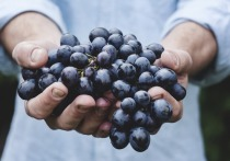 Вещество, содержащееся в винограде, под названием ресвератрол, может оказаться эффективным средством борьбы с раком легких