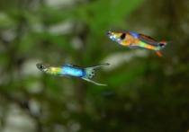 Новое исследование, проведенное специалистами из Университетского колледжа Лондона, позволила продемонстрировать связь между уровнем интеллекта самок рыбок гуппи и их предпочтениями при выборе самцов