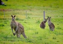 Многие животные, обитающие в Австралии, способны поразить воображение жителей Северного полушария, однако наиболее знаменитым представителем местной фауны остаются кенгуру