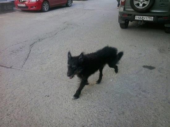 Жители новосибирского микрорайона годами борются с кусачей собакой