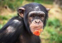 Самцы шимпанзе, редко проявляющие агрессию и открытые для общения с сородичами, живут дольше остальных