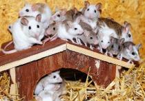 Группа исследователей, представляющих Китайскую академию наук, сумели в лабораторных условиях вырастить мышей, обоими «родителями» которых являлись самки