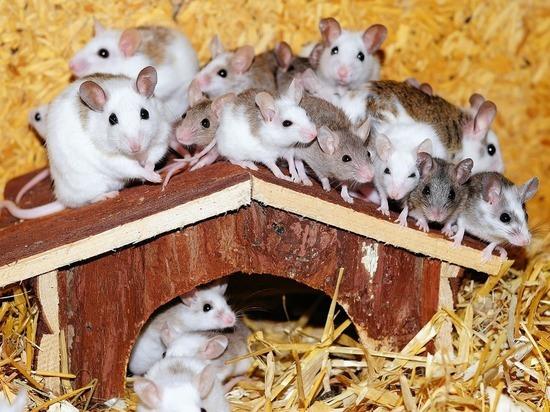 В Китае вырастили мышей, родившихся от двух самок