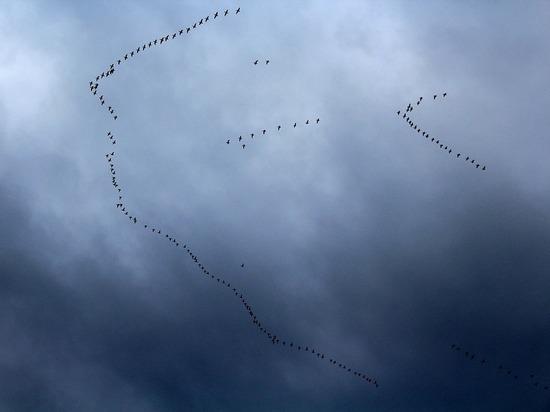 Соцсети: жители карельского посёлка в панике – на них падают перелётные птицы