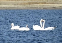 Стая лебедей отдыхает перед перелетом в тихой заводи под Волгоградом