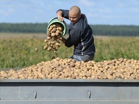 Местного урожая картофеля хватит до лета