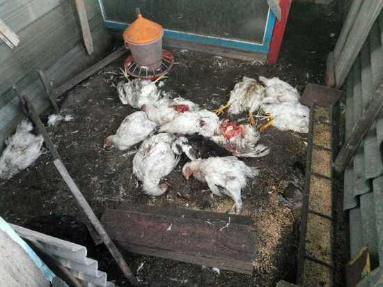 Массовые убийства совершают бродячие псы в селе Тюменцево Алтайского края