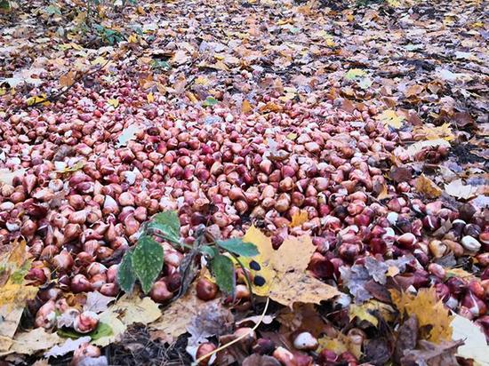 Цветоводы на халяву: москвичи собрали в лесу урожай луковиц тюльпанов