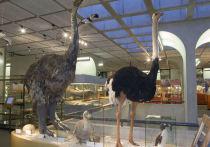 Эпидорнисы, представляющие собой самых крупных птиц, когда-либо существовавших на планете, вели ночной образ жизни и обладали очень плохим зрением