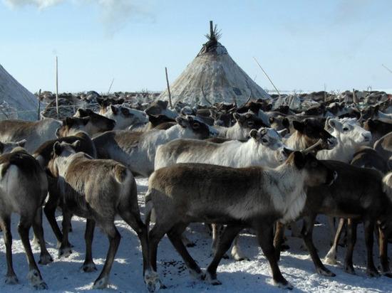 На Ямале стартует кампания по заготовке мяса