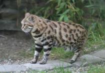 Черноногие кошки, обитающие  в Южной Африке и весящие не более трех килограммов, оказались самыми смертоносными представителями семейства кошачьих на планете