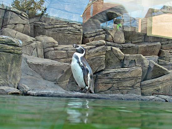 В Новосибирск прибыли японские пингвины Гумбольдта