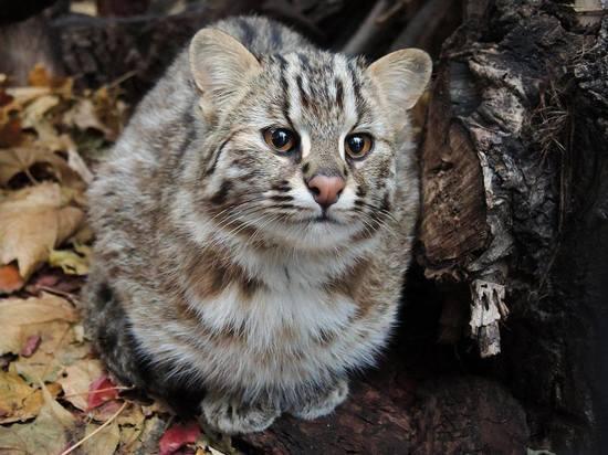Сотрудники Московского зоопарка посоветовали гостям лесной кошки соблюдать тишину