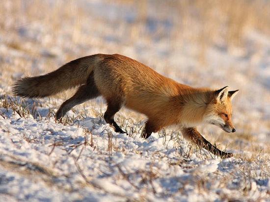 В Тамбовской области началась охота на лисиц, зайцев и куниц