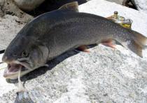 Российские исследователи, представляющие Сибирский федеральный университет и Институт биофизики Сибирского отделения РАН обнаружили, что рыбе под названием боганидский голец содержится рекордное количество полиненасыщенных жирных кислот омега-3