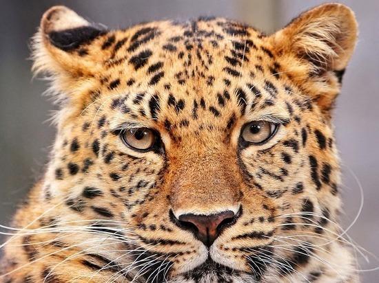 В столицеРФ  леопард напал нашкольницу