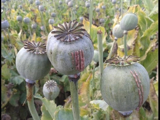 В Кировской области мужчина хранил дома 130 грамм опиумного мака