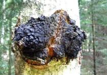 Российские учёные, представляющие  Алтайский государственный технический университет имени Ивана Ползунова, предложили использовать при в качестве добавки при производстве пшеничного хлеба древесный гриб чагу, также известный как трутовик скошенный